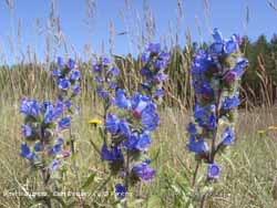 Viper's Bugloss (Echium vulgare L.) at Cefni Estuary. Click for larger.