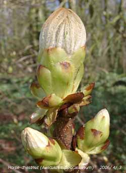 Sticky buds opening on horse-chestnut to form yellow candles.