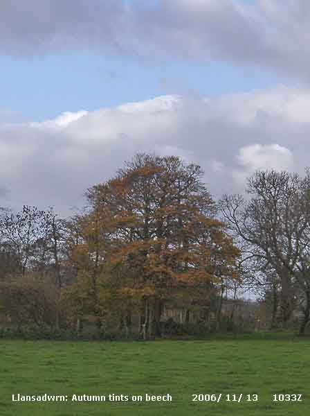 A Llansadwrn beech tree with autumn tinted leaves.