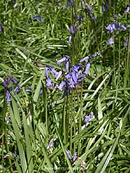 Bluebells flowering in the wood at the weather station in Llansadwrn.