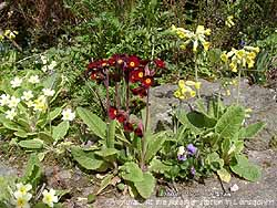 Primulas on the rockery banks in the garden in Llansadwrn.