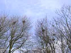 Rooks attending their nests on 17 February 2006; cirrocumulus above.