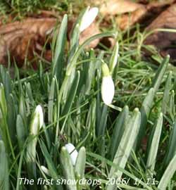 The first snowdrops of 2006 had emerged in the garden.