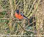 Bullfinch taking buds from plum tree.