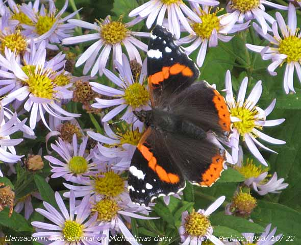 Red admiral butterfly on Michaelmas daisy in the garden.