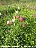 Snake's Head Fritillaries growing in the garden.