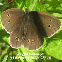 Ringlet butterflies were numerous along forest tracks.