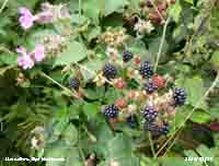 Hedgerow blackberries ready for picking.