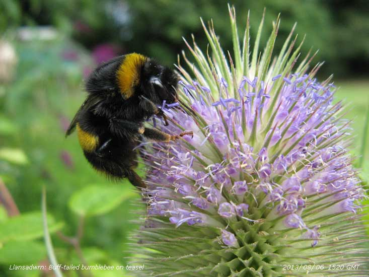 Buff-tailed bumblebee on teasel in the garden.