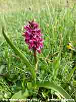 Early marsh orchid later than usual.