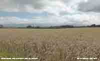 In Llansadwrn under cloudy skies a field of wheat ready for harvest.