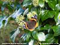 Red admiral butterfly on flowering ivy.