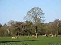 Trees beginning to leaf as cattle graze the fields.