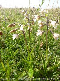 Close up of marsh helleborines at Aberffraw, Anglesey.