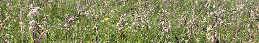 Marsh helleborines in flower on the big dune slack at Aberffraw.