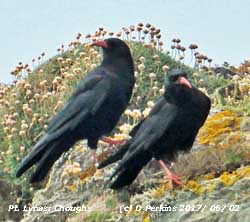 Pair of Choughs at Point Lynas, Anglesey.