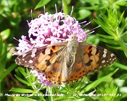 Welcoming summer a painted lady butterfly on its favourite flower Phuopsis stylosa in the garden.