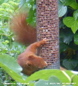 This red squirrel is a frequent visitor at the weather station.