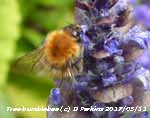 Tree bumblebee on Bugle flowers in the garden.