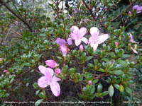 This pink Azalea has been in flower in the garden for a while.