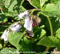 Buff-tailed bumblebee on comfrey.