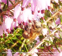 The Foehn-enhanced temperature brought out the first bees of the year spotted on flowering heathers.