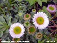 Fleabane Erigeron glaucus growing on the rockery bank in our Garden at Gadlys.