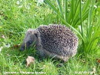 Hedgehog foraging on the lawn at the weather station.
