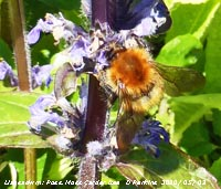 Possible moss carder bee on comfrey in our Garden at Gadlys.