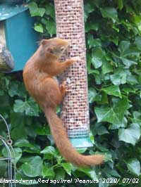 Red squirrel 'Peanuts' prefers shelled peanuts for birds to whole provided in the boxes.