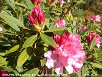 Pink Rhododendron starting to bloom in our Garden at Gadlys.