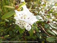 This dwarf white Rhododendron has recently started to flower in the garden.