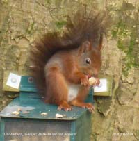 Dark-tailed red squirrel a regular visitor to the feeder.