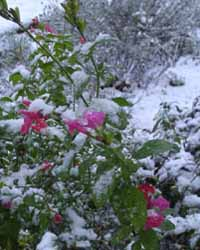 Fresh snow on our 'Brittany sage' (a shrub Salvia sp.) that was still in flower in the garden on Boxing Day, 26 December 2001. Photo: © D Perkins.