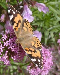 Phuopsis stylosa a favourite of butterflies and bumblebees. A painted lady butterfly feeding on 6 June 2004. Photo: © D Perkins.