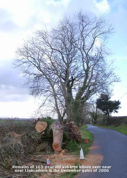 Remains of large ash tree blown over in the gales on 4 Dec 2006.