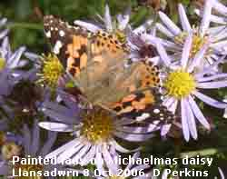 Painted lady on Michaelmas daisy flowers.