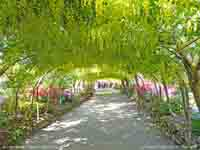 Recently renovated Laburnum Arch at Bodnant.