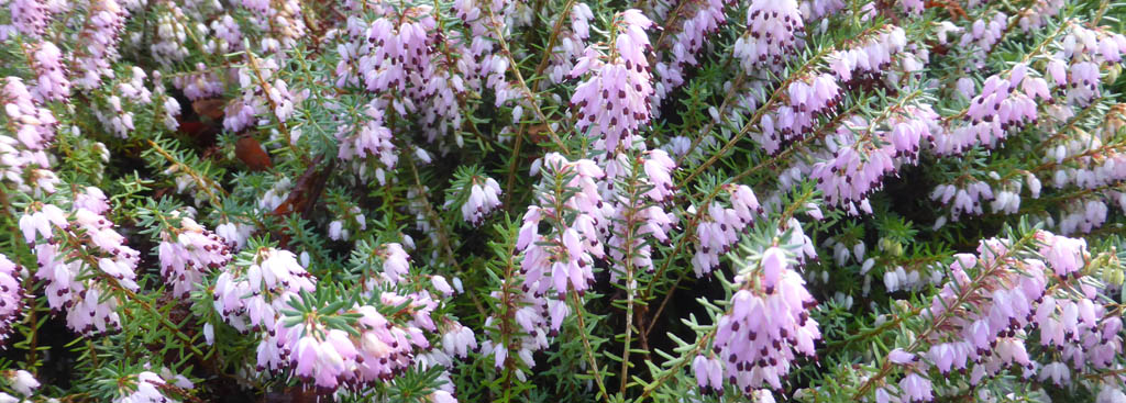 This pink flowering heather Erica ssp has been flowering in the garden since Christmas 2019.
