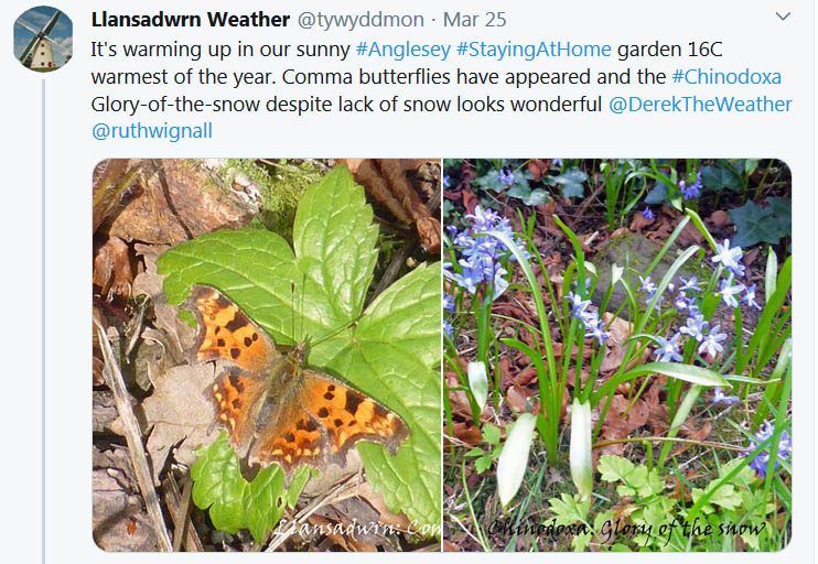 Tweet about comma butterfly and glory-of-the-snow in the garden ..